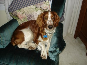 Alex, a Welsh springer spaniel