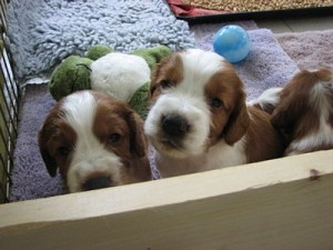 """""""Winters"""" (center pup) at 3 weeks"""