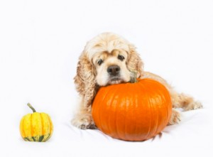 Cocker spaniel and pumpkins isolated on white background